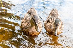 Group of young brown ducks, ducklings swimming together in lake near the coast. Water birds species in the waterfowl family. Group of young brown ducks stock photos