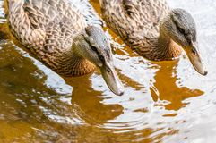 Group of young brown ducks, ducklings swimming together in lake near the coast. Water birds species in the waterfowl family. Group of young brown ducks royalty free stock photo