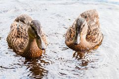 Group of young brown ducks, ducklings swimming together in lake near the coast. Water birds species in the waterfowl family. Group of young brown ducks royalty free stock photos