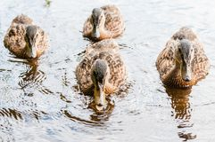 Group of young brown ducks, ducklings swimming together in lake near the coast. Water birds species in the waterfowl family. Group of young brown ducks stock photography