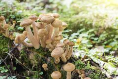 Group of young buttons of edible mushrooms from the Armillaria Stock Photos