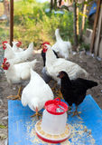 A group of young chicken Royalty Free Stock Image