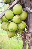 Group of young coconut Royalty Free Stock Photo