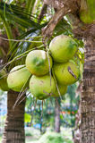 Group of young coconut Stock Image