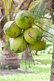 Group of young coconut Stock Photo