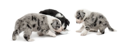 Group of young crossbreed puppies drinking stock image