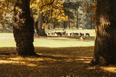 A group of young deer in autumn walks in a meadow near a forest. stock image