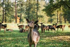 A group of young deer walks through a warm green sunny meadow in a forest next to the trees Royalty Free Stock Photo