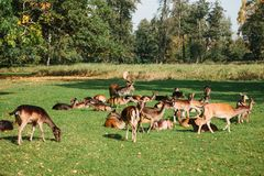 A group of young deer walks through a warm green sunny meadow in a forest next to the trees Royalty Free Stock Photos