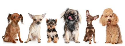 Group of young dogs. Isolated on a white background Royalty Free Stock Images