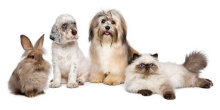 Group of young dogs, cat, rabbit in front of white. Group of young pets: english setter puppy, havanese dog, persian kitten, little rabbit - isolated on white stock image