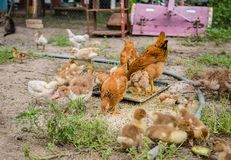 A group of young ducklings, teenage chickens in the farmyard pecking food. Divorce poultry. A group of young ducklings, teenage chickens in the farmyard pecking royalty free stock photography