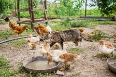 A group of young ducklings, teenage chickens in the farmyard pecking food. Divorce poultry. A group of young ducklings, teenage chickens in the farmyard pecking stock photos
