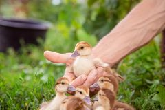 A group of young ducklings, teenage chickens in the farmyard pecking food. Divorce poultry. A group of young ducklings, teenage chickens in the farmyard pecking royalty free stock photos