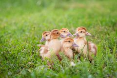 A group of young ducklings, teenage chickens in the farmyard pecking food. Divorce poultry. A group of young ducklings, teenage chickens in the farmyard pecking royalty free stock photo