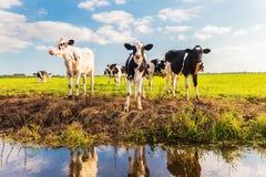 Group of young Dutch calves on a fresh green meadow Royalty Free Stock Photos