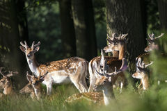 Group of young Fallow Deer dama dama stags in countryside landsc Royalty Free Stock Images