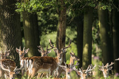 Group of young Fallow Deer dama dama stags in countryside landscape. Group of young Fallow Deer stags and bucks in countryside landscape royalty free stock photos