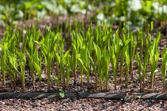 Fresh young sprouts of lily-of-the-valley in springtime sun. A group of young and fresh lily-of-the-valley plants on a sunny springtime day Stock Photo