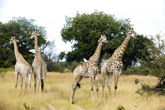 Group of young giraffes Stock Photos