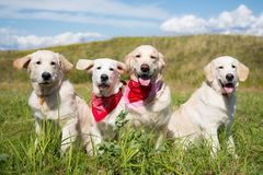 Group of young golden retriever dogs posing in the field in sunny day in summer. royalty free stock images