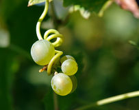 Group of young grapes hanging Stock Photo