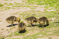 Group of young greylag goslings Royalty Free Stock Photo