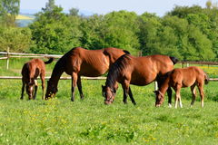 Group of young horses Stock Image