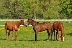 Group of young horses. English thoroughbred horses are one of most beautiful animals Royalty Free Stock Images