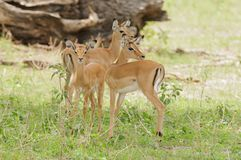 Group of young impala in Tarangire. Group of young impala scientific name: Aepyceros melampus, or `Swala pala` in Swaheli in the Tarangire National park royalty free stock image