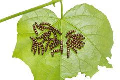 Group of young Leopard Lacewing Cethosia cyane caterpillars. Group of young instar Leopard Lacewing Cethosia cyane caterpillars on its host plant leaf, isolated stock image