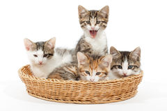 Group of young kittens in the basket Stock Image
