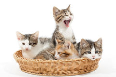 Group of young kittens in the basket Royalty Free Stock Photography