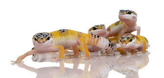 Group of Young Leopard gecko - Eublepharis macular Royalty Free Stock Photography