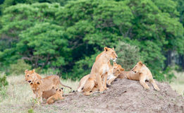 Group of young lions Stock Photography