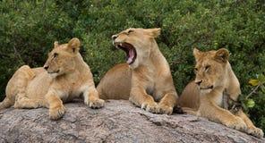 Group of young lions on the hill. National Park. Kenya. Tanzania. Masai Mara. Serengeti. Stock Photography