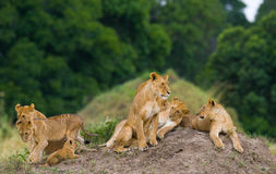 Group of young lions on the hill. National Park. Kenya. Tanzania. Masai Mara. Serengeti. An excellent illustration stock image
