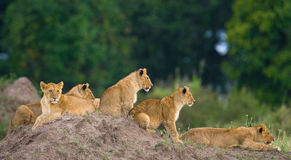 Group of young lions on the hill. National Park. Kenya. Tanzania. Masai Mara. Serengeti. Stock Photos