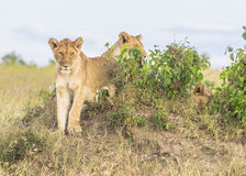 Group young lions Royalty Free Stock Images