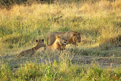 Group of young lions resting. Group of young male lions (Panthera Leo) resting at the shadow of a tree in Serengeti National Park, Tanzania Stock Photos