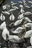 A group of young male Mute Swans on getting together. White Mute Swans at the Wildlife and Wetlands Trust at Slimbridge, Gloucestershire UK, Founded by Sir Peter Royalty Free Stock Images