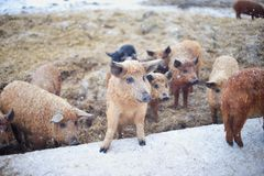 Group of young mangalitsa pigs in the winter on the snow. Stock Photos