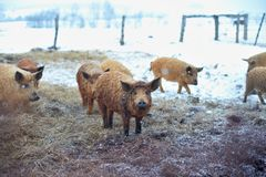 Group of young mangalitsa pigs in the winter on the snow. Royalty Free Stock Image