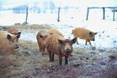 Group of young mangalitsa pigs in the winter on the snow. Royalty Free Stock Photos