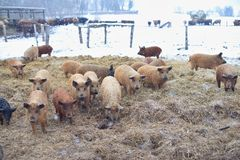 Group of young mangalitsa pigs in the winter on the snow. Stock Photo