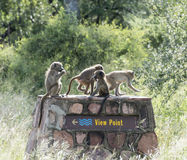 Group young monkeys laying on the view point Stock Image