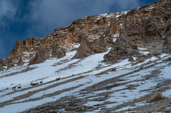 Group of young mountain goat in springtime dolomites, Italy Stock Photo