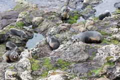 A group of young New Zealand fur seal Arctocephalus forsteri on a rock platform in the wild. At Otago Peninsula stock images