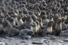 Group of young northern fur seal rookery on autumn Stock Photos
