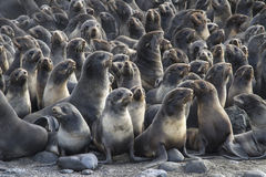 Group of young northern fur seal rookery on Bering Royalty Free Stock Photos